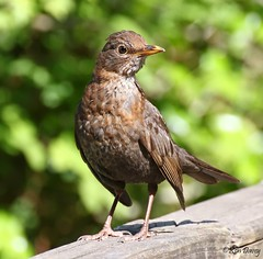 Young female Blackbird on a sunny afternoon at Stover Park last summer. (ronalddavey80) Tags: canon eos70d tamron 70300mm bird blackbird