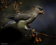 (lfalterbauer) Tags: cedarwaxwing canon 7dmarkii ornithology avian nature wildlife outdoor bird dslr flickr adobe camera berry
