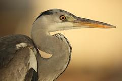 Face (Teruhide Tomori) Tags: nature bird wild kyoto japan japon hirosawanoike pond winter animal greyheron アオサギ 野鳥 広沢池 京都 冬 鳥 動物 野生 日本