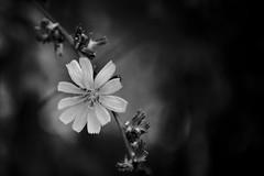 (mgschiavon) Tags: blackandwhite bw blackwhite flower macro closeup