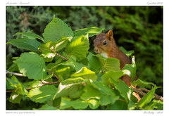 L'écureuil | Squirrel (BerColly) Tags: france auvergne puydedome ecureuil squirrel abre tree noisetier hazel bercolly google flickr