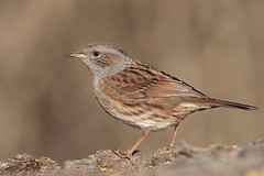 Passera scopaiola (Marcello Giardinazzo) Tags: passerascopaiola prunellamodularis avifauna wild natura uccelli birds