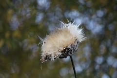 Artichoke pod (ekaterina alexander) Tags: artichoke seed pod seeds cynara cardunculus autumn nature photography pictures ekaterina alexander england sussex