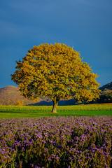 Strong Tree (ASTPic) Tags: autumn herbst bunt tree astpic acker landscape colorfull klettgau genussregion