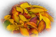 autumn (colin 1957) Tags: autumn leaves