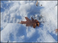 Autumn Leaf On Top Of Textured Shadowy Snow - Natural Photo Taken by STEVEN CHATEAUNEUF On November 22, 2018 (snc145) Tags: ground snow shadows texture leaf winter seasons nature photo outdoor november222018 stevenchateauneuf vividstriking flickrunitedaward