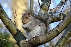 Sunday Squirrel (Eleanor (No multiple invites please)) Tags: squirrel greysquirrel tree stjamesspark london nikond7100 january2019 coth5