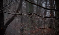 Happy New Year (Violet aka vbd) Tags: pentax k1ii k1markii hdpentaxda55300mmf4563edplmwrre ct connecticut newengland vbd raindrops trumbull fog handheld 2018 winter2018 branches bokeh manualexposure trees