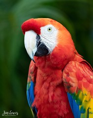 Scarlet Macaw (jklewis4) Tags: scarletmacaw nature colorful tropical macaw florida bird birds