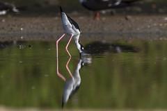 Black-necked Stilt (Mario Arana G) Tags: 7d ave bird birding blackneckedstilt cr canon canon7d costarica florayfauna marioarana nature photography puntarenas wildlife