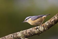 female nuthatch 3 (G_Anderson) Tags: missouri yard birds birding backyard winter urban red breasted nuthatch migration irruption