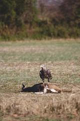 Opportunity Awaits (reclaimednj) Tags: upperfreeholdtownship newjersey unitedstates us nj baldeagle eagle bird raptor birdofprey deer roadkill
