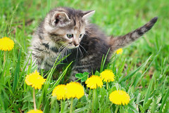 Melasha (Kseniya Polonskaya) Tags: kitten cat little baby playing pet summer cute garden field face outdoor meadow mammal green flowers curious sweet kitty fur sunny grass feline sun portrait eyes rays small healthy young adorable lovely home background domestic nature game animal care