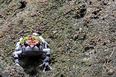 Ornate Hopper or Malagasy Rainbow Frog, Scaphiophryne gottlebei, in native habitat, Isalo National Park, Madagascar (Brad Wilson, DVM) Tags: ornatehopper scaphiophrynegottlebei habitat isalonationalpark madagascar malagasyrainbowfrog rainbowburrowingfrog gottlebesnarrowmouthedfrog microhylidae desert explosivebreeder iucnendangered endangered