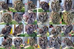 Chester (billnbenj) Tags: barrow cumbria owl westernscreechowl raptor birdofprey mosaicmaker flickrtoysmosaicmaker