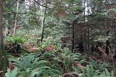 2018-11-25 Whistle Lake Trail 20 (03) (1024x680) (-jon) Tags: anacortes skagitcounty skagit washingtonstate washington salishsea fidalgoisland sanjuanislands hike hiking walk walking woods forest pnw pacificnorthwest whistlelake trail anacortescommunityforestlands acfl trail20 leaves fall tree color colour a266122photographyproduction canonpowershotelph180