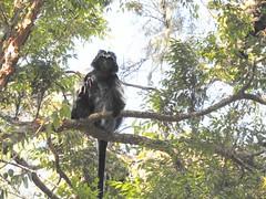 Javan Lutung, or Ebony Langur (benyeuda) Tags: mammal monkey langur lutung javanlutung javanlangur ebonyleafmonkey ebonylangur trachypithecus auratus trachypithecusauratus java indonesia