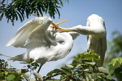 ATU_9702_Garça Branca Grande_LR (Ana Taemi) Tags: garçabrancagrande ardeaalba casmerodiusalbus greategret ave bird itatiba sp brazil