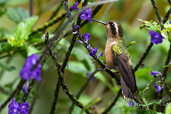 DSC_7240.jpg (Augusto Ilian G) Tags: colibrípechipunteado adelomyiamelanogenys speckledhummingbird