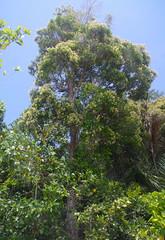 Syzygium hemilamprum ssp hemilamprum, North Garners Beach, near Mission Beach, QLD, 25/10/18 (Russell Cumming) Tags: plant syzygium syzygiumhemilamprum syzygiumhemilamprumhemilamprum myrtaceae northgarnersbeach missionbeach tully queensland