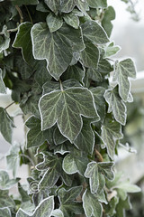 _IMG1928 Frozen Ivy (Pete.L .Hawkins Photography) Tags: misty walk hoober wentworth near rotherham petehawkins petelhawkinsphotography petelhawkins petehawkinsphotography pentax hd pentaxd fa 2470mm f28 ed sdm wr