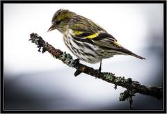 Erlenzeisig (robert.pechmann) Tags: erlenzeisig carduelisspinus vogel makro macro