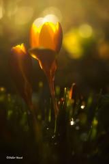 Crocus en contre jour 1 (didier95) Tags: crocus crocusjaune fleur fleurjaune macro