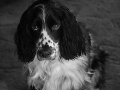 It's rained all day so I had to stand in,well  actually I'm sitting. (dave p brecks) Tags: sparkey englishspringerspaniel pet petdog olympus60mmmacro panasonicdmcg80