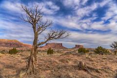Gnarly (jbarc in BC) Tags: canyonlands utah moab tree gnarly sky buttes mesa landscape nikonz7 desert grass soil canyon