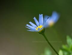 Minifly on Blue Flower (Amberinsea Photography) Tags: macrophotography flowers flower autumn amberinseaphotography biskopstorp macro nature naturephotography sweden nikon