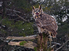 Oliver Great Horned Owl CRC IMG_2838 (Jennz World) Tags: ©jennifermlivick canadianraptorconservancy vittoria ontario canada greathornedowl owl bird raptor snow winter