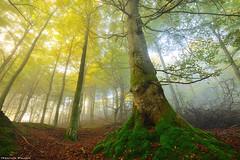 King on Fire (Hector Prada) Tags: autumn otoño forest bosque light luz giant tree arbol leaves hojas branches ramas moss musgo roots raices naturaleza nature paísvasco basquecountry