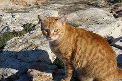 DSC02015 Rubio, Mallorca (Fernando Sa Rapita) Tags: rubio mallorca sarapita cat gato mascota pet freedom libertad sony sonyrx100 sonydscrx100