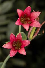 Bolander's lily (Lilium bolanderi) (Spencer Dybdahl Riffle) Tags: bolander bolanderi lily lilium del norte county california nature plant botany cnps calflora native society liliaceae macro flower