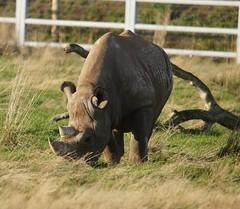 Yorkshire Wildlife Park...    10.12.2018 135 (Andrew Burling (SnapAndy1512)) Tags: yorkshirewildlifepark10122018 yorkshirewildlifepark yorkshire blackrhino rhino animals zoo