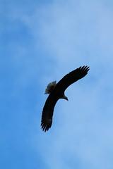 IMG_4827 (Jayebug) Tags: bald eagle baldeagle eagles raptor raptors idaho coeurdalene cda id wolflodge december 2018 wildlife birds sky wild