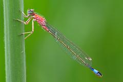 Große Pechlibelle / Blue-tailed damselfly (Ischnura elegans rufescens) (uwe125) Tags: tiere insekten libelle pechlibelle gerupft insect dragonfly animal macro makro bluetaileddamselfly macromarvels