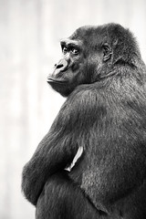 B&W Over the Shoulder 3-0 F LR 9-16-18 J077 (sunspotimages) Tags: animal animals groilla gorillas nature wildlife zoo zoos nationalzoo fonz fonz2018 bw blackwhite blackandwhite monochrome
