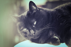 Patient calm (Pepenera) Tags: cat cats black blackbeauty blackcat gatto gato gatti nero portrait