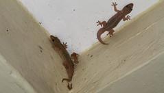 Hemidactylus mabouia (Tropical House Gecko) (jd.willson) Tags: jd willson jdwillson nature wildlife herps herping fieldherping reptile lizard africa tanzania gombe national park hemidactylus mabouia tropical house gecko