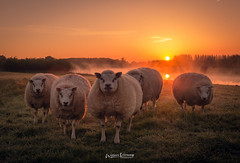 Sheeps in the morning,........... (Willem Vernooy (FoToWillem)) Tags: schaap sheep animal sun zon zonsopkomst sunrise linge betuwe nature natuur nederland netherlands dutch westbetuwe colorful colores ftw fotowillem willemvernooy holland hollanda