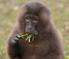 Gelada Blijdorp 094A0454 (j.a.kok) Tags: animal africa afrika aap mammal monkey primate primaat baboon baviaan roodborstbaviaan gelada zoogdier dier blijdorp