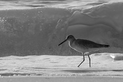 Cruising the lunch buffet... (JKBfoto) Tags: ocean white black waves sand beach bird