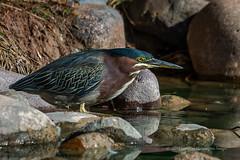Focused (playful_i) Tags: gwr gilbertriparian greenheron heron riparian birds lake nature reflection rocks water wildlife