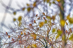 see the birds (1crzqbn) Tags: birds dof bokeh outside waxwings inmygarden nature depthoffield