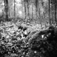 If a tree falls in the forest... (Alfred ter Wal) Tags: moss fallen decay bokeh leaves swirly seagull203 rolleirpx400 d76