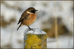 Stonechat (Full Moon Images) Tags: wildlife nature bird cambridgeshire fens stonechat snow winter nt national trust burwell wicken