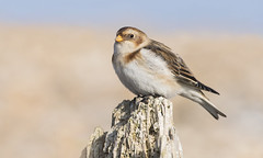 Snow Bunting (Plectrophenax nivalis). (Bob Eade) Tags: snowbunting wildlife westsussex bunting birds avian winter beach sea groyne bokeh nature nikon sussex