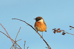 European Stonechat, Ruddons Point, Fife, Scotland (Terathopius) Tags: europeanstonechat saxicolarubicola ruddonspoint largobay fife scotland bird unitedkingdom greatbritain animal fauna wildlife wildlifephotography outside nature naturephotography naturaleza natureza canon5d canon