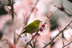 Spring Calling (moaan) Tags: kobe hyogo japan jp bird mejiro japanesewhiteeye ume umeblossoms japaneseapricot blossoms blossoming inblossom springtime march focusonforeground selectivefocus bokeh bokehphotography dof canoneos5dsr ef7020mmf28lisiiusm2x utata 2019